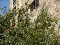 Garnet tree with fruits about the house in Israel Royalty Free Stock Photography