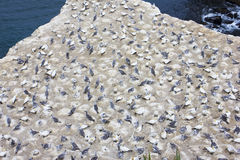 Garnets. Garnet Colony Muriwai Beach New Zealand royalty free stock photos