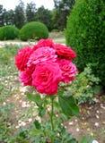 Garnette Rosa Imagem de Stock Royalty Free