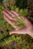 Garnka liść w ręce Fotografia Stock