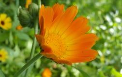 Garnka nagietek w ogródzie (Calendula officinalis) Zdjęcie Stock