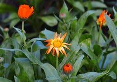 Garnka nagietka Calendula officinalis na plamy tle Zdjęcie Royalty Free