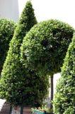garnka pudełkowaty drzewo Zdjęcie Stock