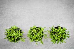 Garnki z młodymi cilantro ziele na betonowym tle zdjęcie stock