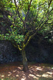 The Garoe tree, El Hierro, Canary Islands, Spain Stock Photography