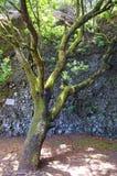 The Garoe tree, El Hierro, Canary Islands, Spain Royalty Free Stock Photography