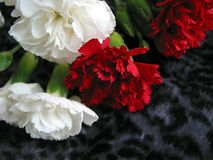 Garofani bianchi e rossi Fotografia Stock