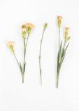 Garofani gialli isolati Fotografia Stock Libera da Diritti