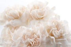 Garofani rosa-chiaro fotografie stock