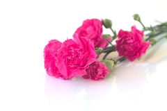 Garofani rosa su fondo bianco immagini stock