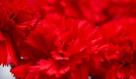 Garofani rossi, macro, William dolce Immagine Stock