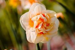 Garofano arancio e giallo in fioritura immagini stock libere da diritti