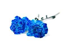 Garofano blu Immagini Stock Libere da Diritti
