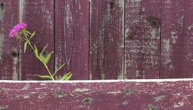 Garofano del fiore sui bordi di legno Fotografia Stock