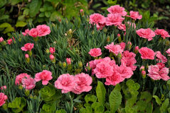 Garofano del giardino (dianthus caryophyllus) fotografie stock