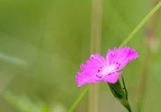 Garofano di rosa selvaggio Immagine Stock Libera da Diritti