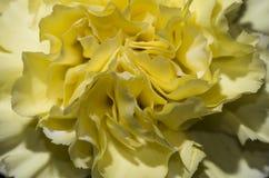 Garofano giallo 1 Fotografia Stock