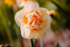 Garofano giallo di fioritura a Frederik Meijer Gardens immagine stock libera da diritti