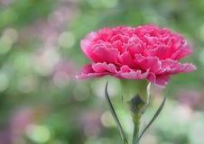 Garofano rosa Immagini Stock Libere da Diritti