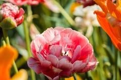 Garofano rosa che fiorisce in un letto di fiore ai giardini di Frederik Meijer fotografia stock libera da diritti