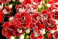 Garofano rosso Fotografie Stock
