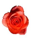 Garofano rosso - isolato Fotografia Stock