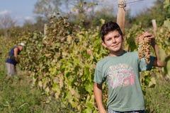 Garçon prenant le groupe de raisin dans la ferme avec le vignoble en vallée verte Photos stock