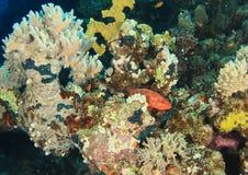 Garoupa coral no recife de corais fotos de stock