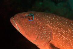 Garoupa do coral do leopardo foto de stock royalty free