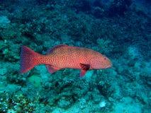 Garoupa do coral vermelho Imagens de Stock Royalty Free