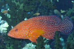Garoupa rara do arco-íris que esconde no coral preto fora do capelão Burgos, Leyte, Filipinas Foto de Stock