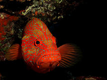 Garoupa traseiro coral fotografia de stock royalty free