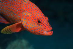 Garoupa traseiro coral Foto de Stock Royalty Free