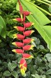 Garra colgante de la langosta, pájaro del paraíso fotos de archivo libres de regalías