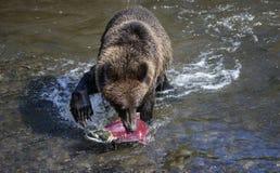 Garra de urso sobre salmões Foto de Stock