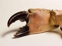 Garra del cangrejo Fotografía de archivo libre de regalías