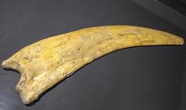 Garra del dinosaurio Foto de archivo libre de regalías