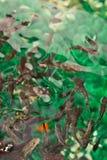 Garra Rufa. Doctor fish. Relaxing pedicure spa treatment. Garra Rufa in aquarium of spa-salon. Doctor fish. Fish relaxing pedicure spa treatment. Refresh Royalty Free Stock Photos
