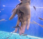 Garra-rufa Fische benutzt für die Schale der Haut lizenzfreie stockbilder