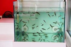 Doktorfische Stockfotos