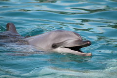 A garrafa cheirou o golfinho Imagens de Stock Royalty Free