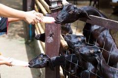 Garrafa da cabra de alimentação do bebê do leite Fotografia de Stock