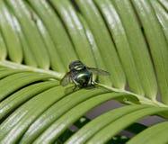 Garrafa verde comum, sericata do Lucilia Imagem de Stock