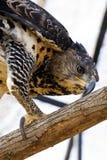 Garras coroadas da falcão-águia Fotos de Stock Royalty Free