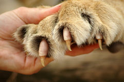Garras del león Imagen de archivo libre de regalías