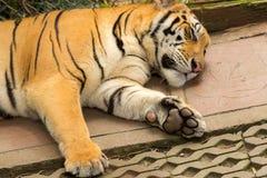 Garras del tigre el dormir Imagen de archivo