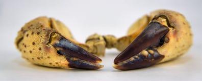 Garras enormes do caranguejo. Fotografia de Stock Royalty Free