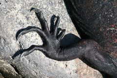 Garras marinas de la iguana, las Islas Gal3apagos Fotos de archivo libres de regalías