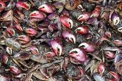 Garras rojas del cangrejo Fotos de archivo