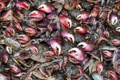 Garras vermelhas do caranguejo Fotos de Stock